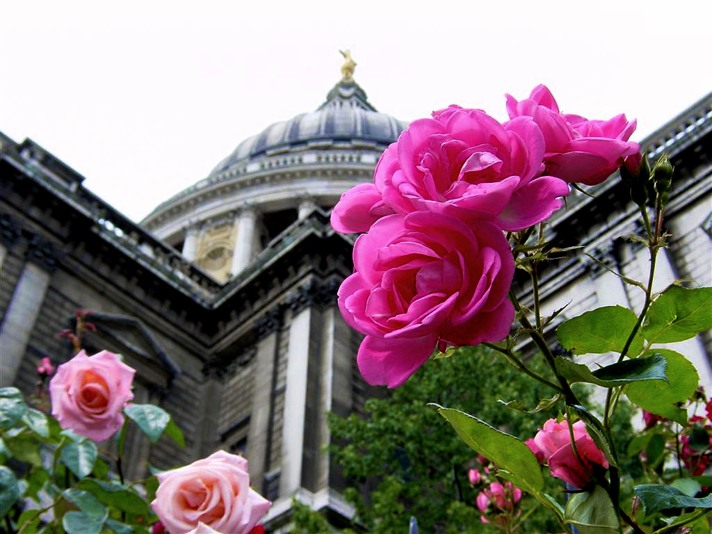 Pink roses and dome at St. Paul%27s