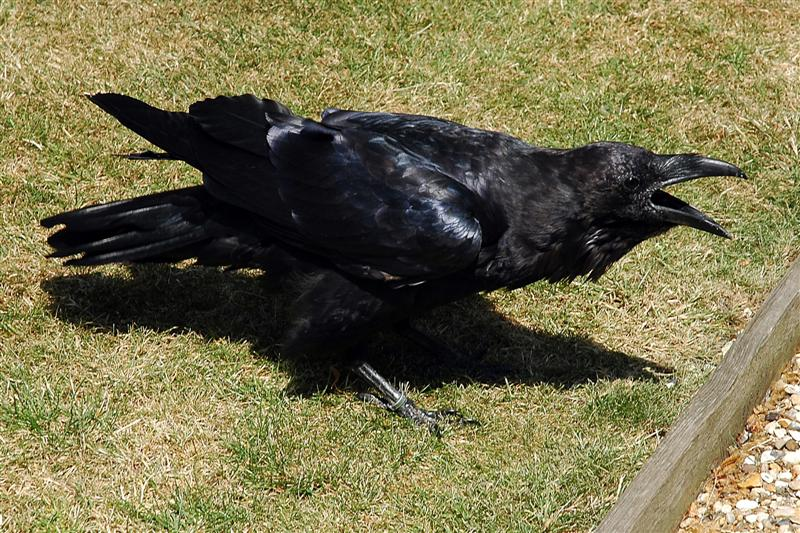 Tower of London - caw!