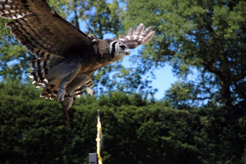 Warwick bird show - owl