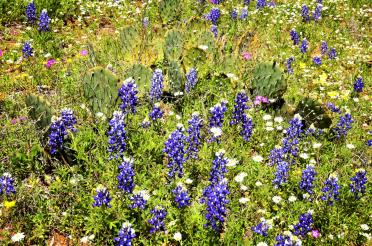 Willow Loop valley bluebonnets and cactus (1)