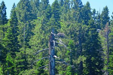 Tahoe eagle nests (from boat - slightly blurry) 02