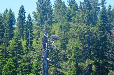Tahoe eagle nests (from boat - slightly blurry) 04