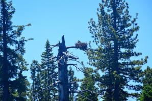 Tahoe eagle nests (from boat - slightly blurry) 05