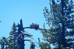 Tahoe eagle nests (from boat - slightly blurry) 06