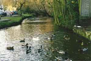 Ducks in the stream - Shere