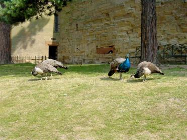 Warwick Castle - peacocks and peahens