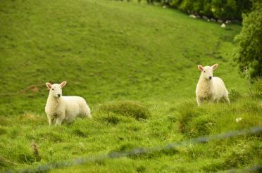 Cotswolds sheep (1)