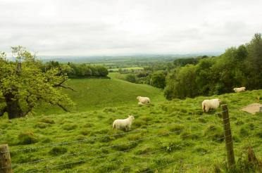Cotswolds sheep (3)