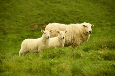 Cotswolds sheep (5)