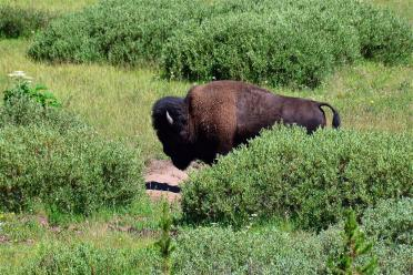 Bison in the bush
