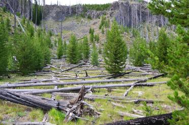 1988 Yellowstone Fire damage along trail - new growth (1)