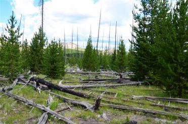 1988 Yellowstone Fire damage along trail - new growth (2)
