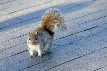 Squirrel (1)